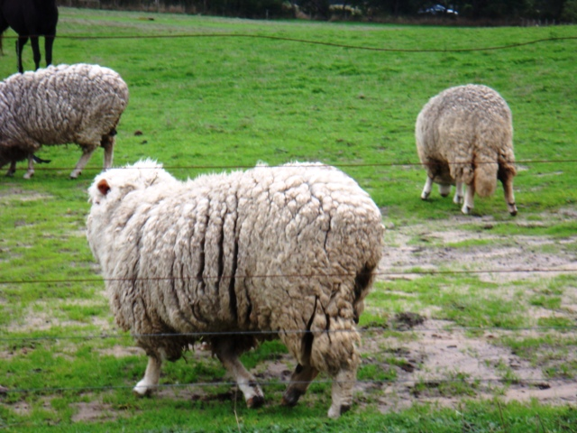 Australian Sheep Get Help from PETA