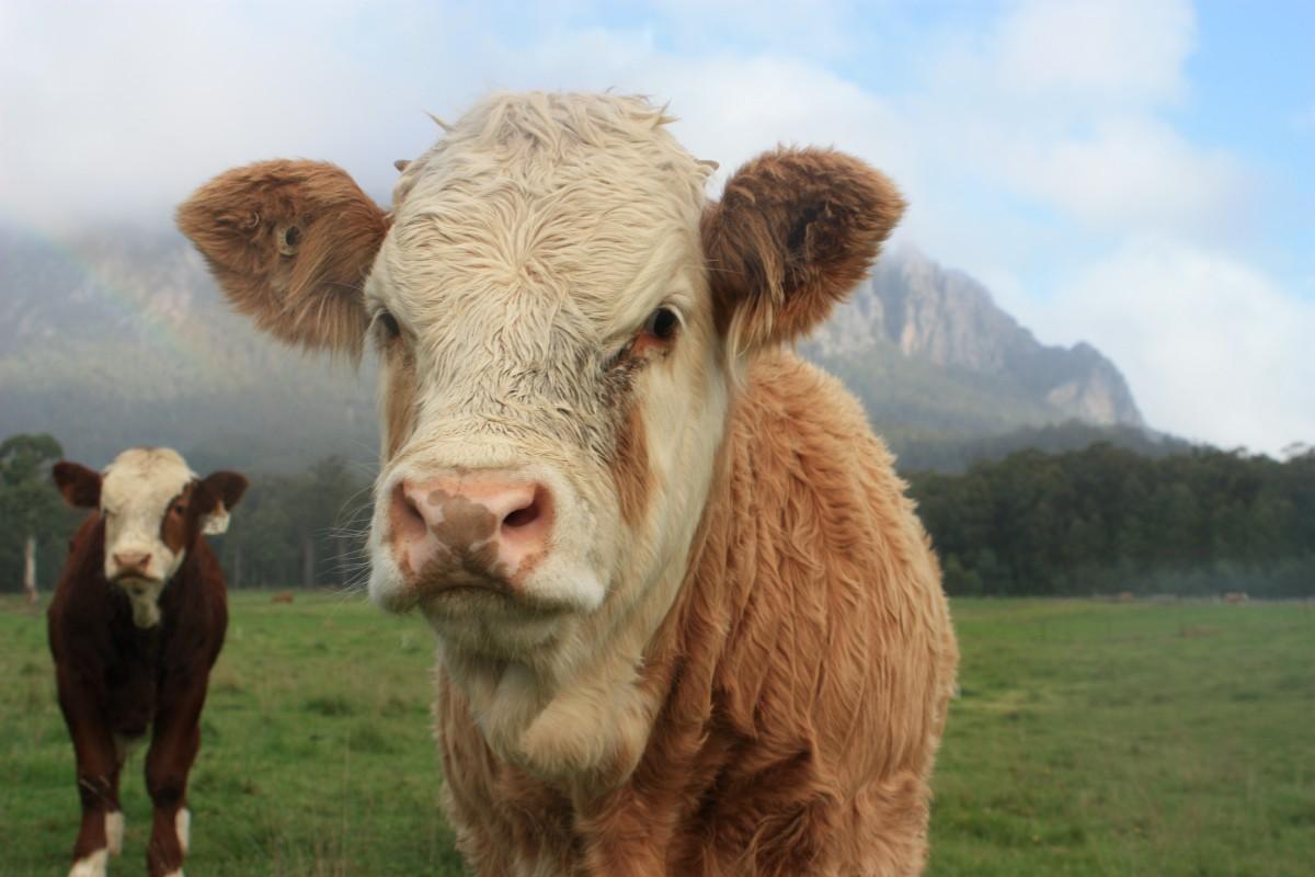 'Mutant' Cows Suffer More