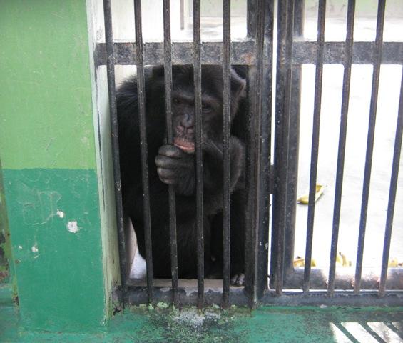 Jojo the chimp at the Dubai Zoo