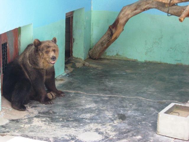 The bear at the Dubai Zoo
