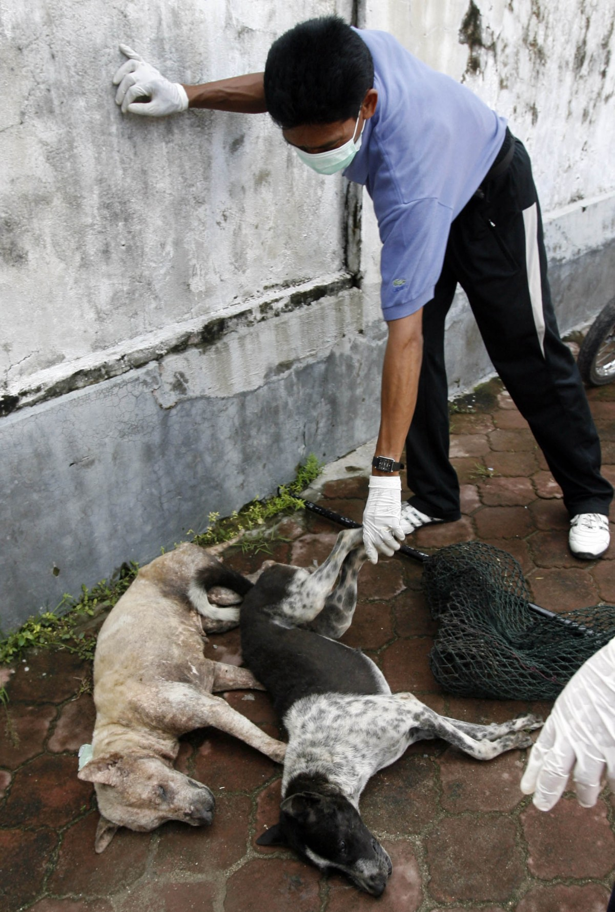 Bali Rabies Dog Cull