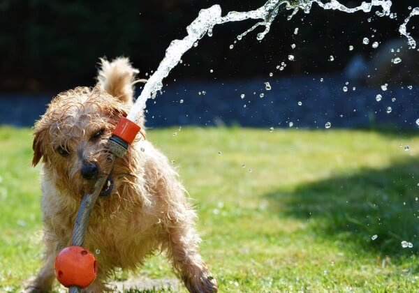 Helping Dogs Beat the Heat