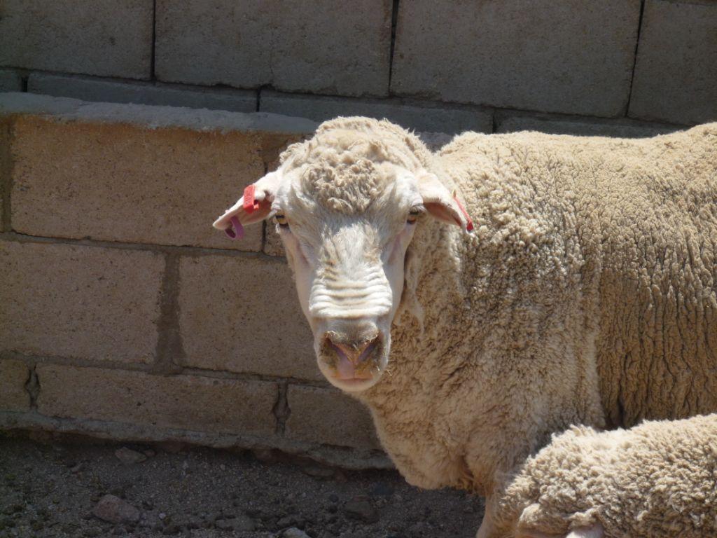 PETA Australia Implores Stud Producers to End Mulesing