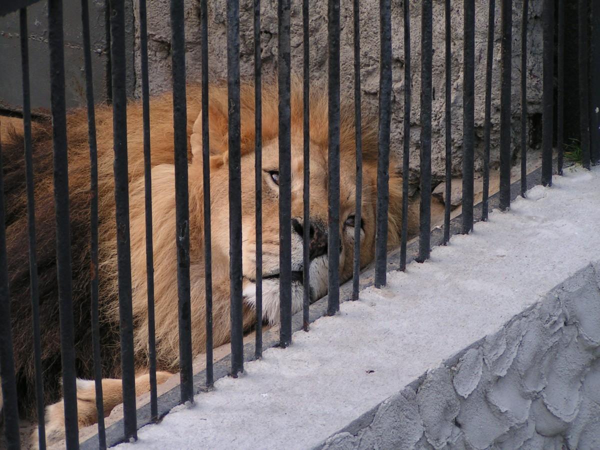 Depressed Lion