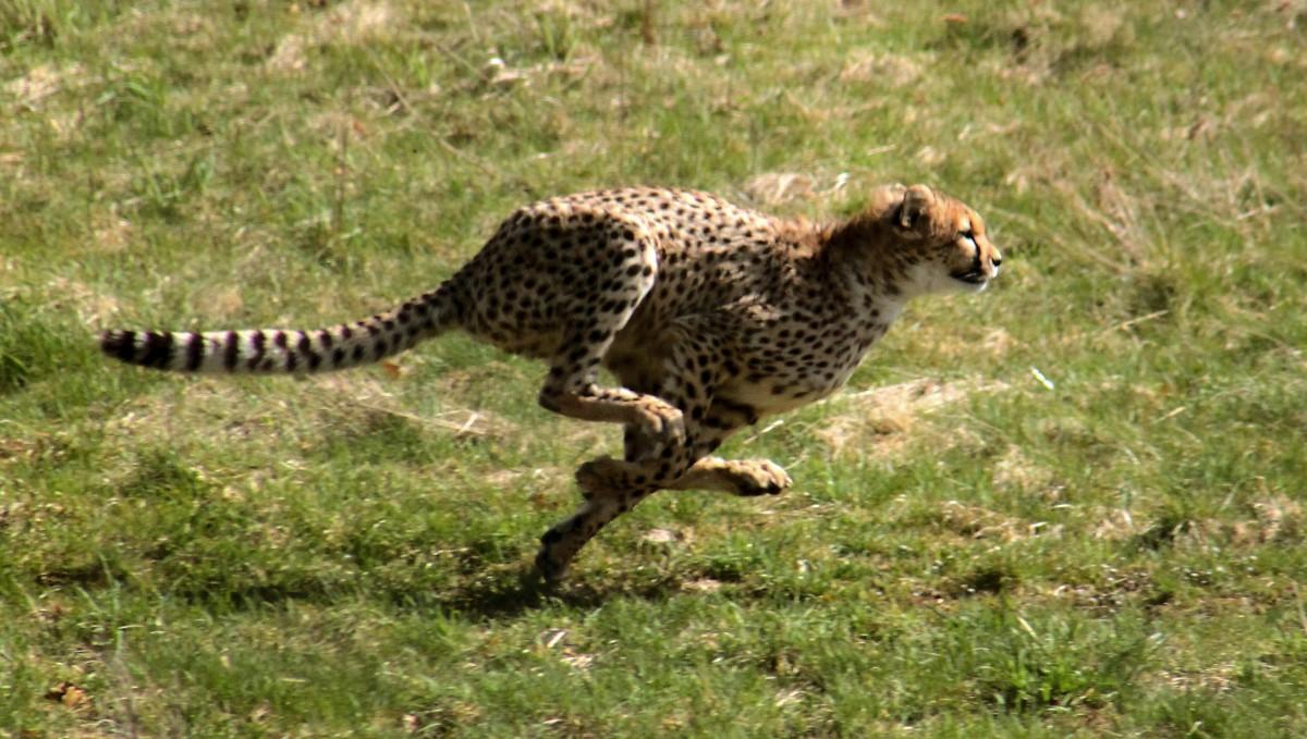 Fast cheetah
