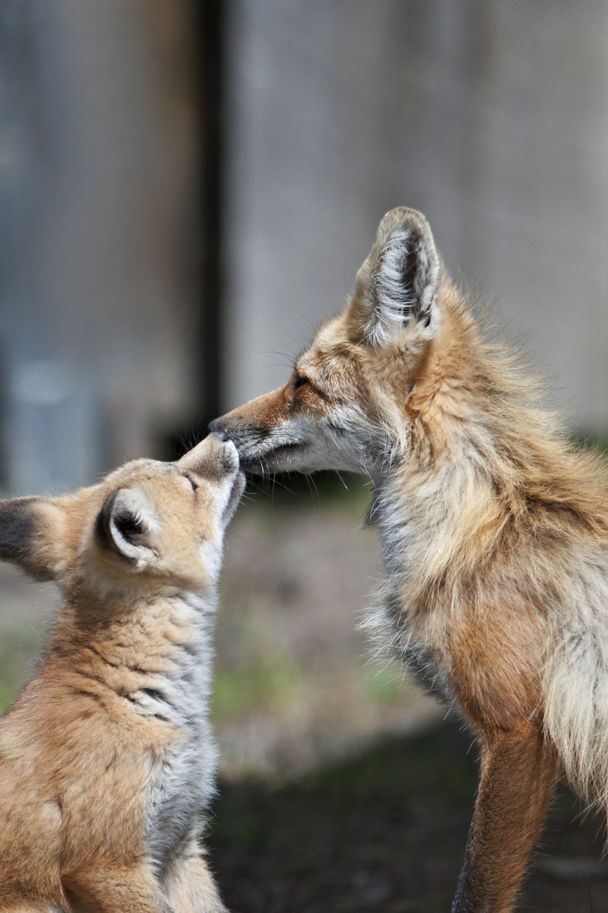 Fox and baby