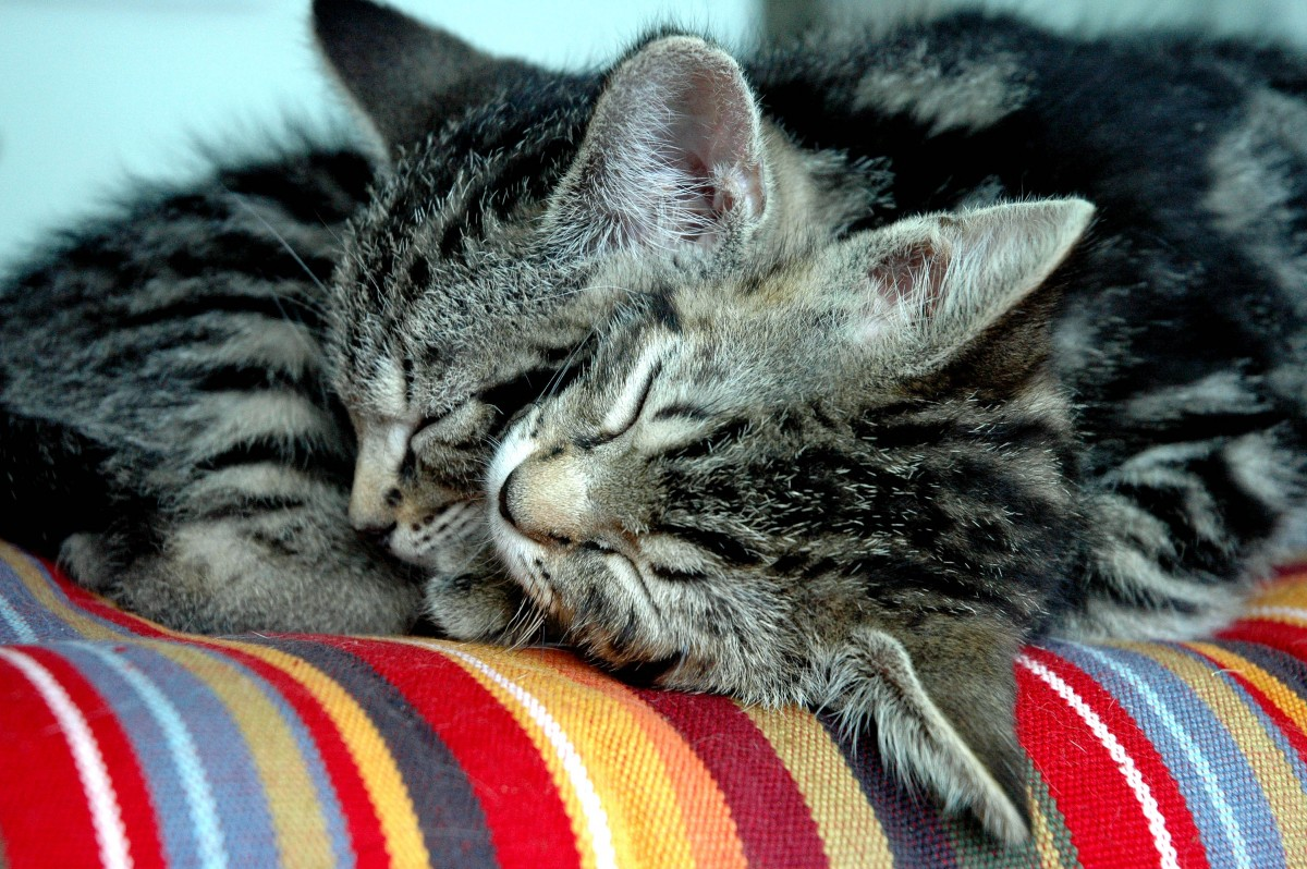 cuddling sleepy cats