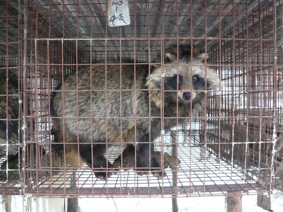 Lone raccoon on farm