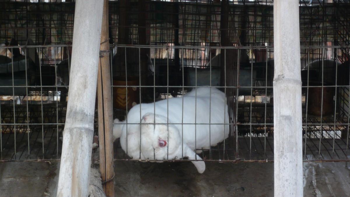 Rabbit cage ear through