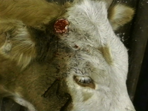 Top ear wound