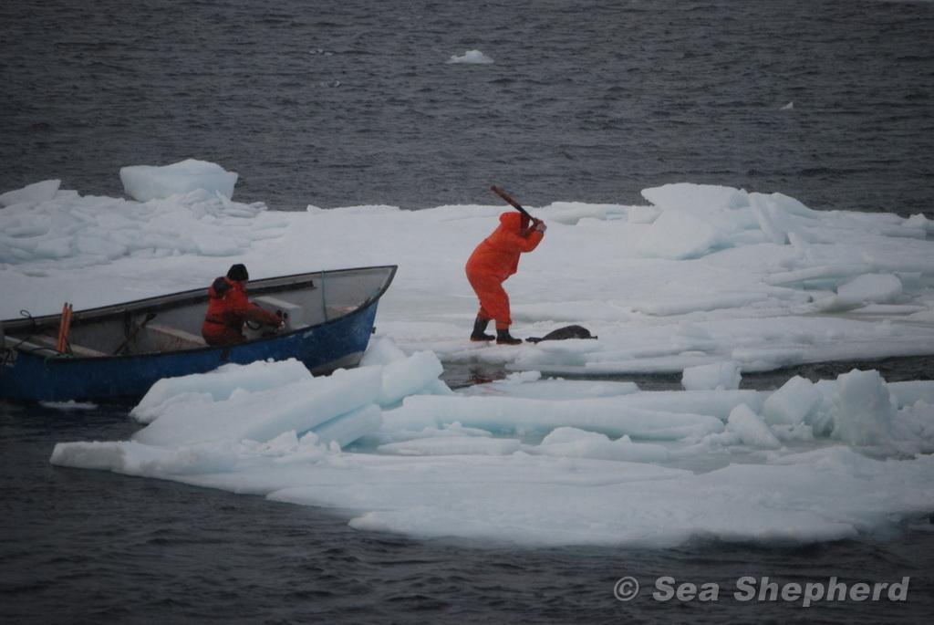 hunter clubbing a seal