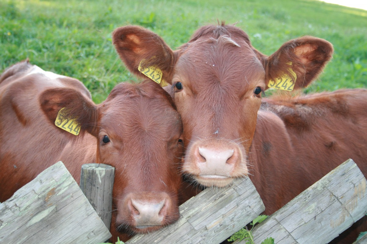 Cute cows Eating Animals