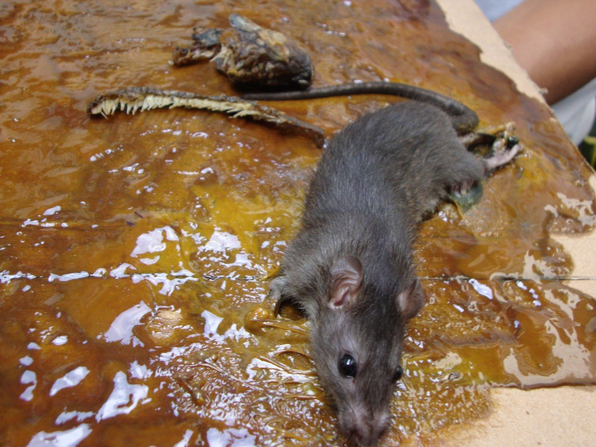 Glue trap rat