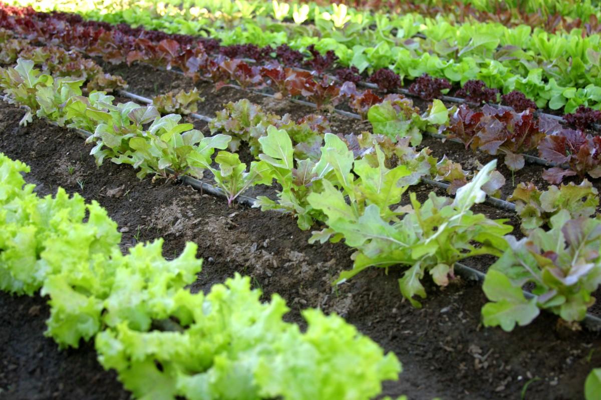 Veetable garden