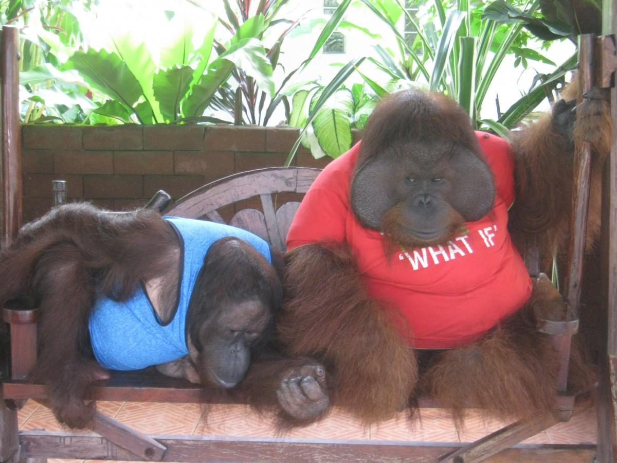 Orangutans_entertainment
