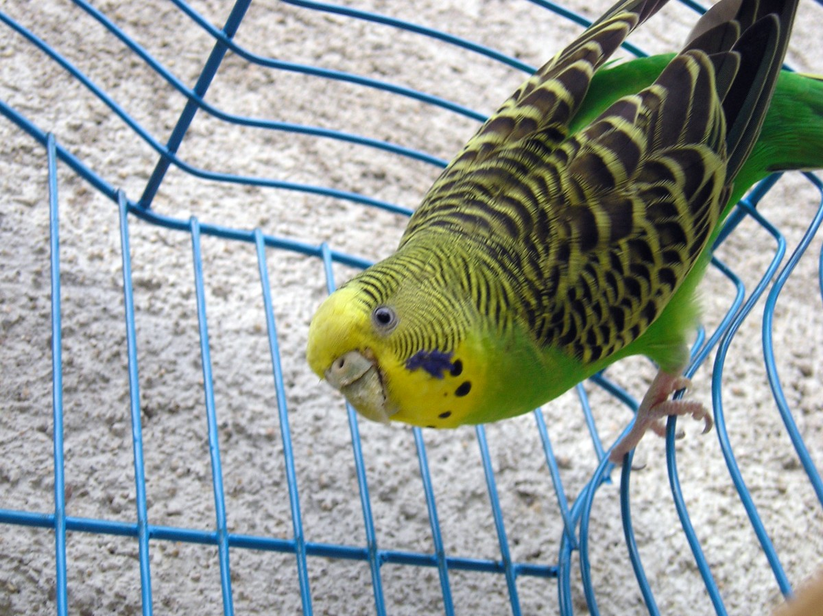 Caged parakeet