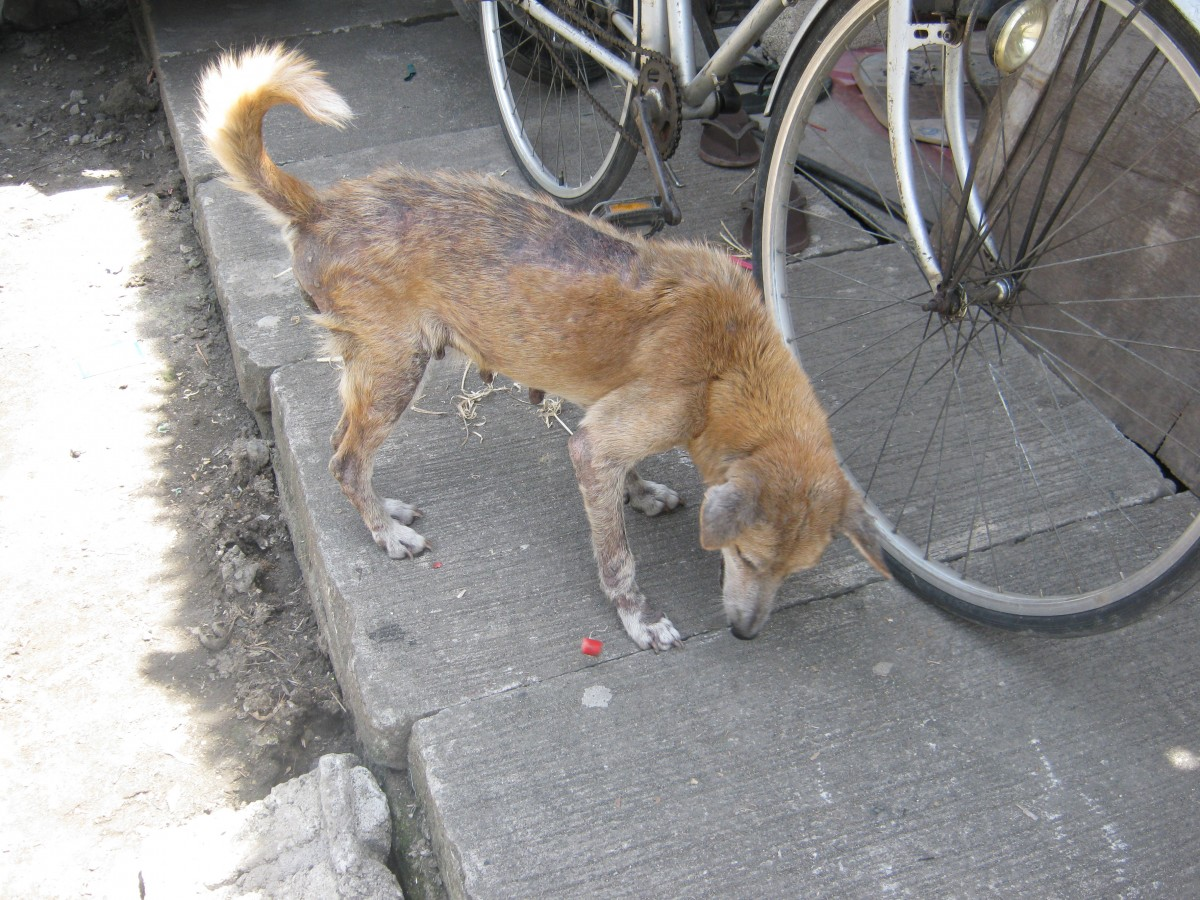 Dog with sarcoptic mange