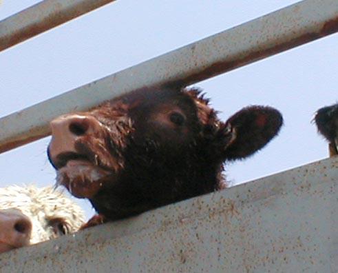 cow live export
