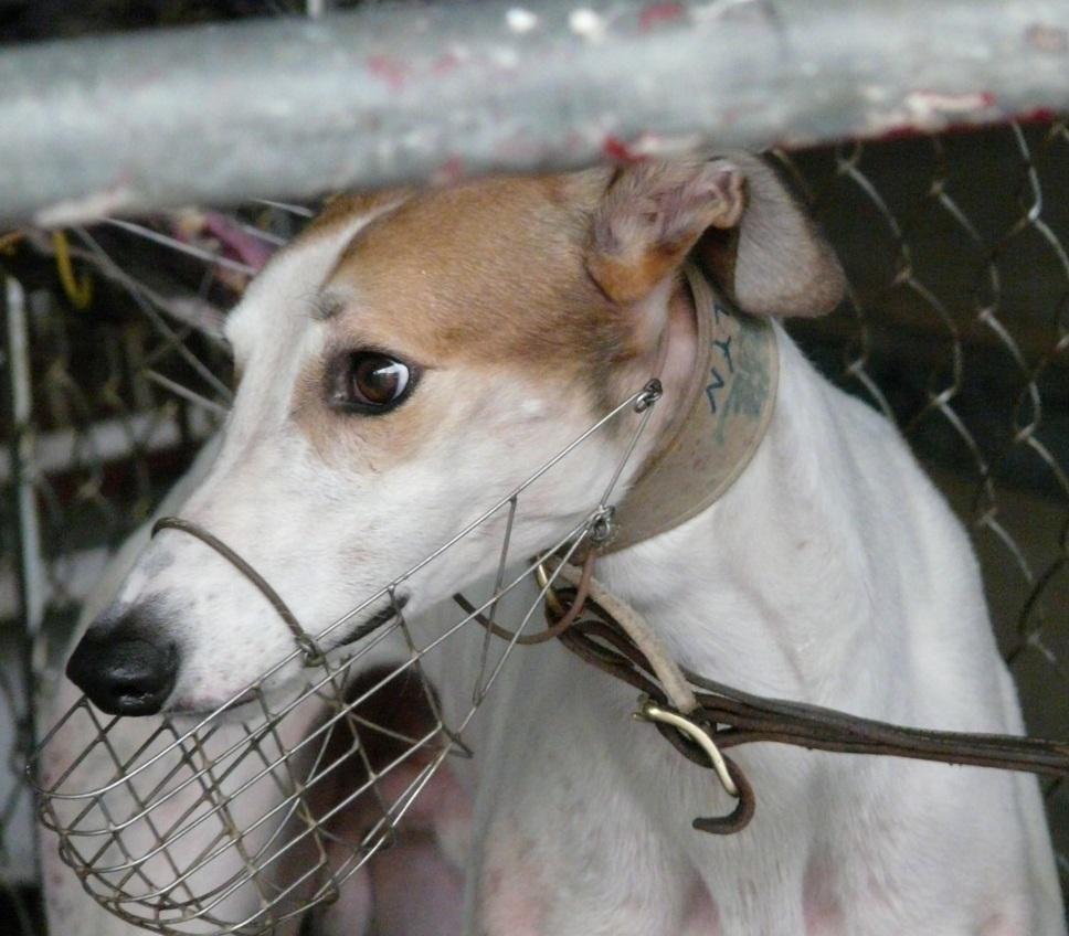 Greyhound racing Macau
