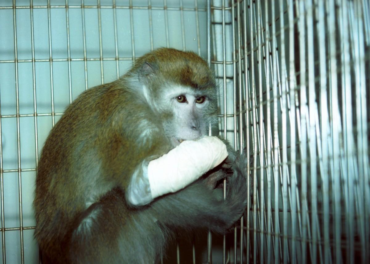 monkey used for testing