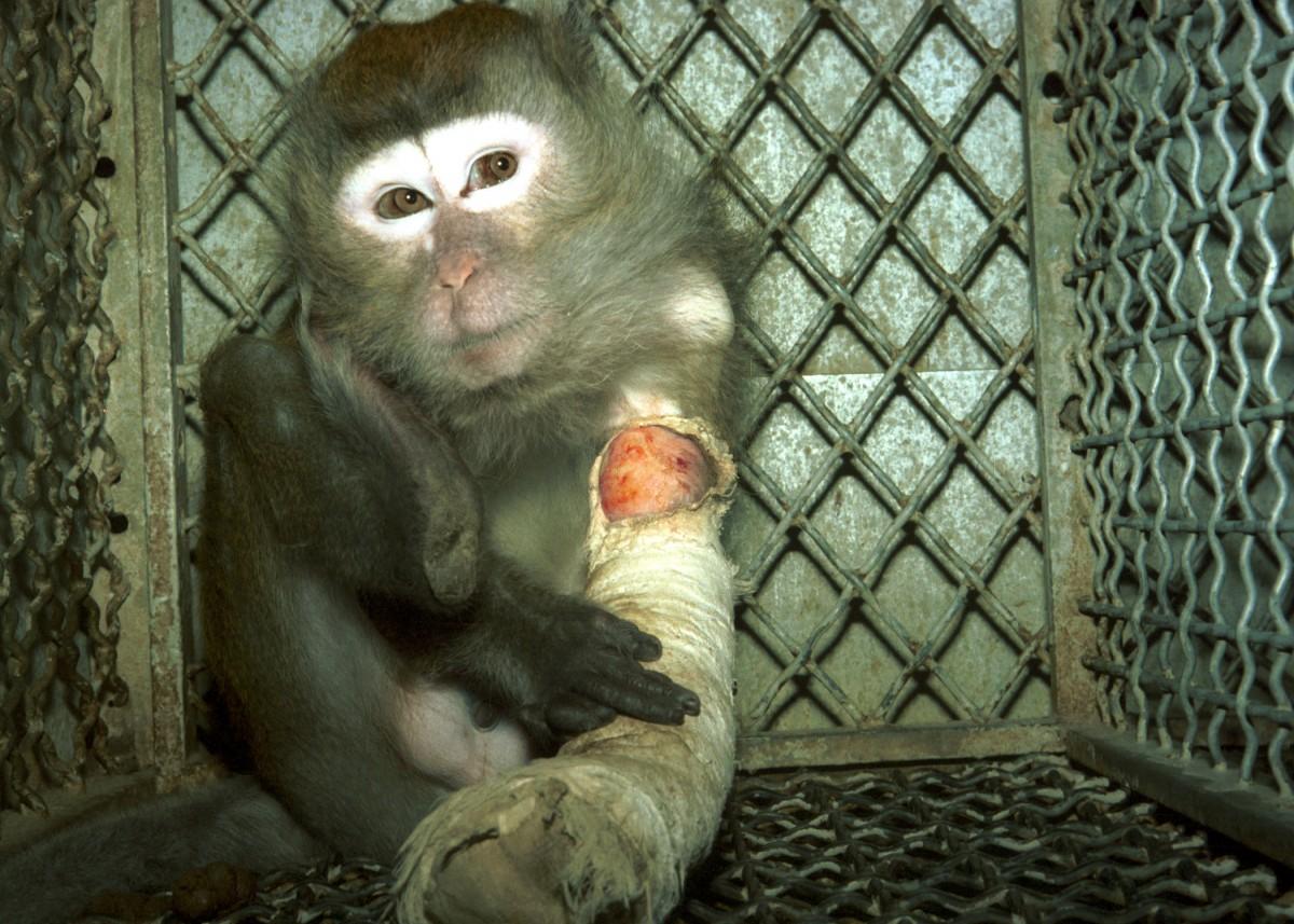 Monkey in laboratory