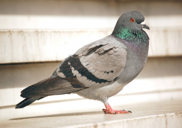 5 Things You Didn't Know About Pigeons