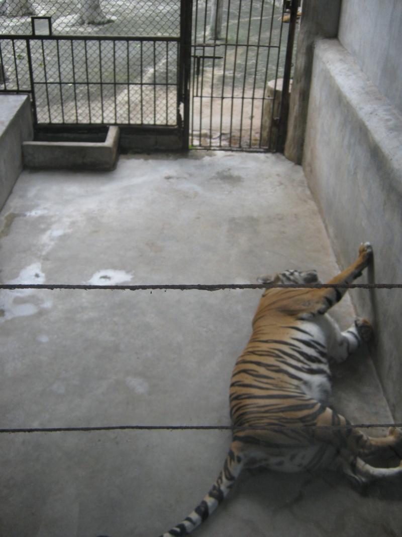 Sriracha-Tiger-Zoo-October-25-2011-453