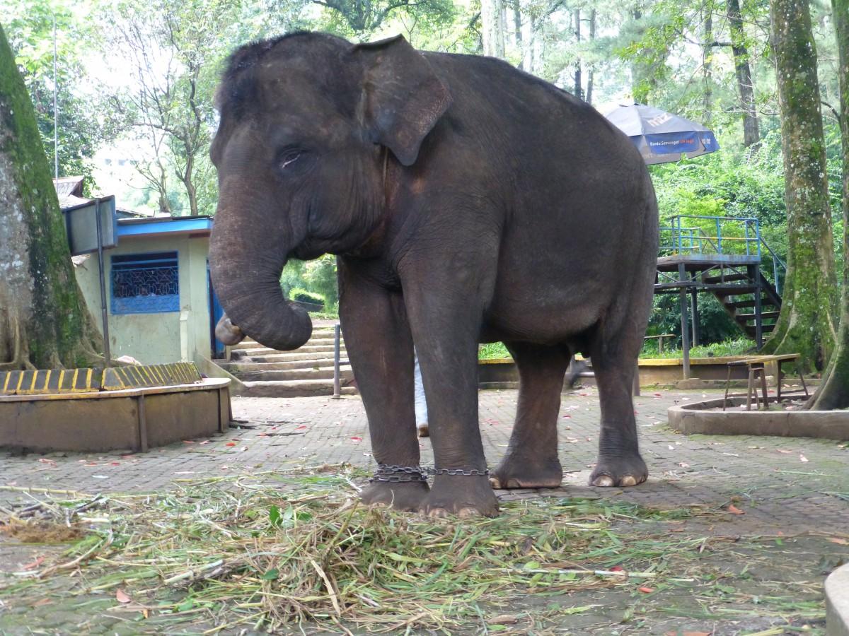 Bandung Zoo elephant