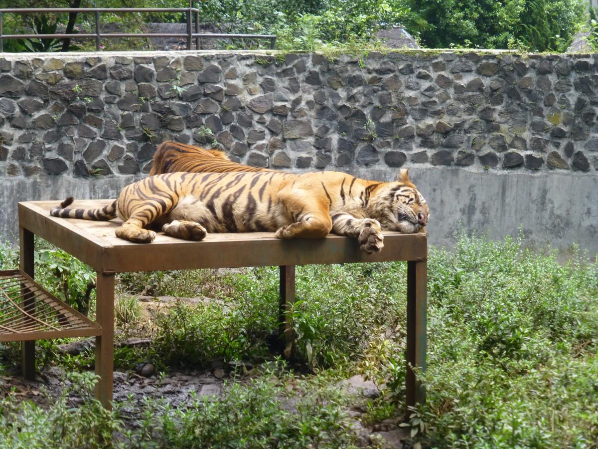 Bandung Zoo tiger
