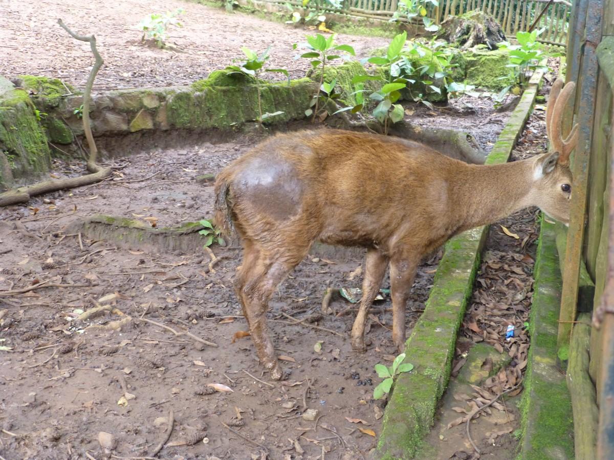 Bandung Zoo deer
