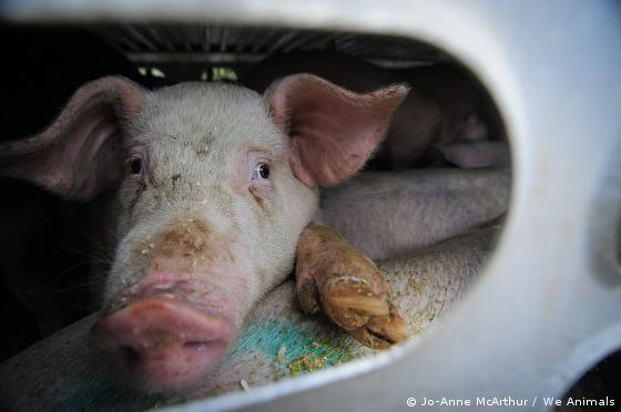 pig on slaughterhouse-bound truck