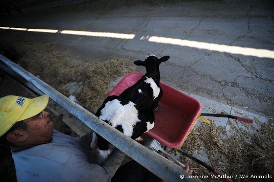 veal calf in wheelbarrow