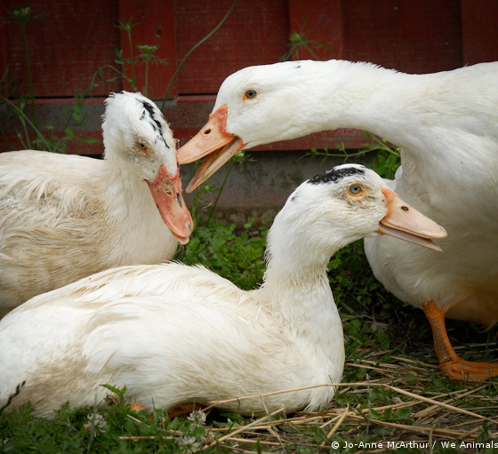 ducks and geese for foie gras