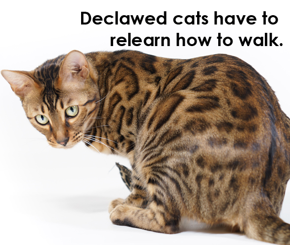 declawing cat walking issues