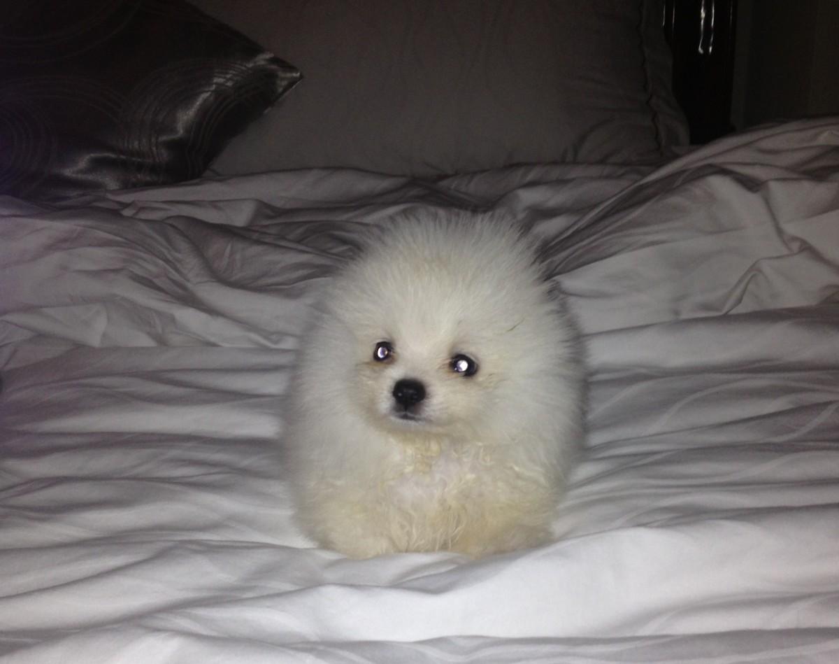shon puppy