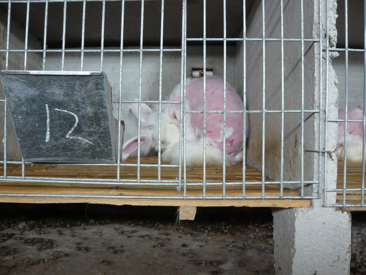 Angora rabbit after fur plucking