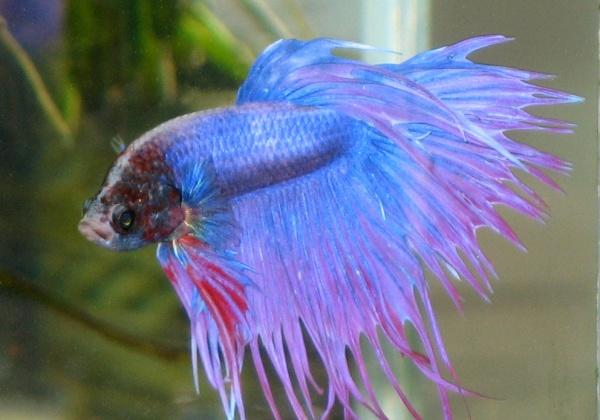 Siamese-fighting-fish
