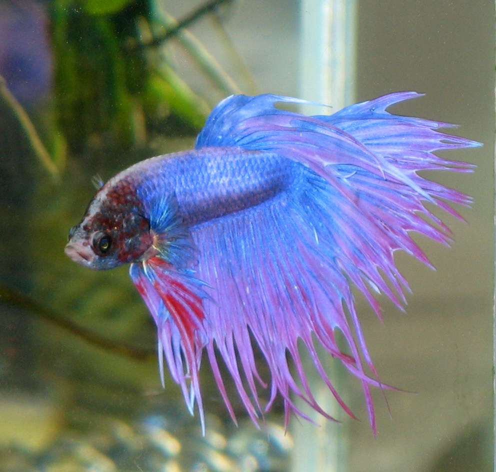 Siamese fighting fish