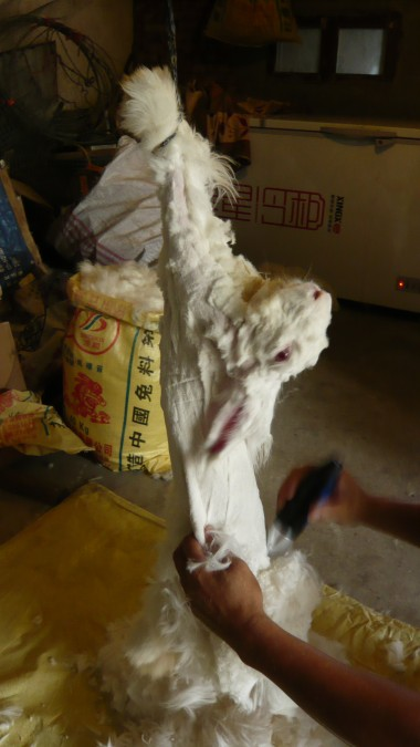 angora rabbit fur cutting with electric shear