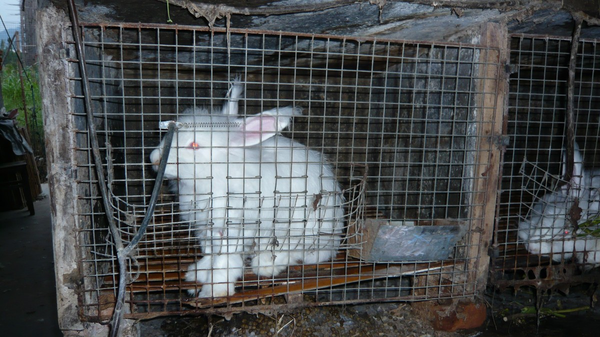 angora rabbit in cage