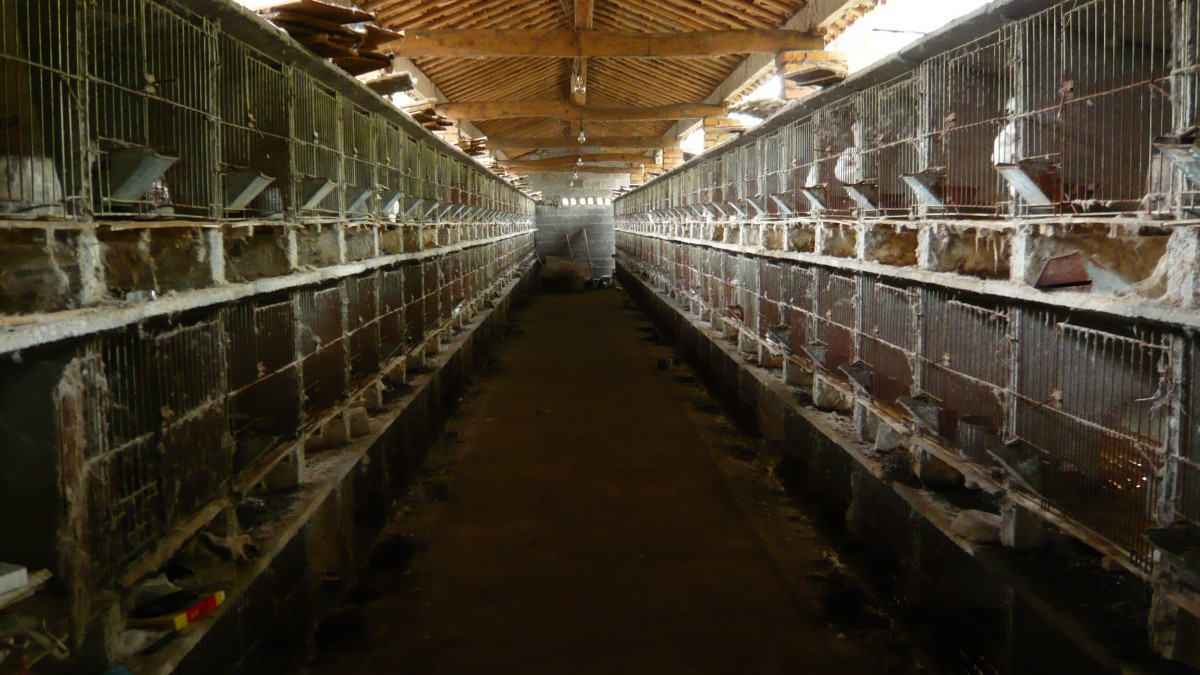 rows of angora rabbit cages