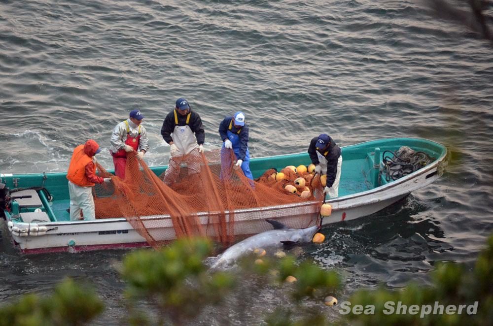 dolphin slaughter Taiji