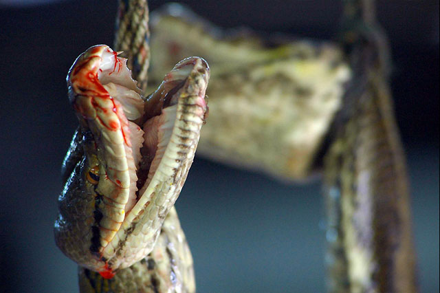 close-up of bloody snake's face