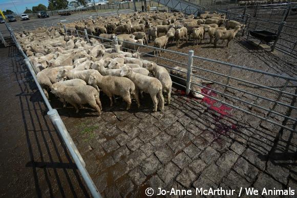 sheep at auction