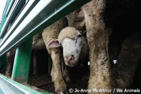 sheep die in transport