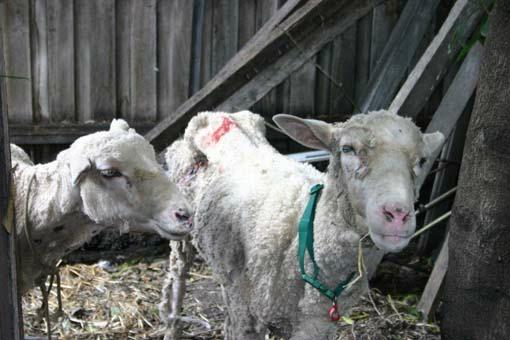 sheep die of exposure