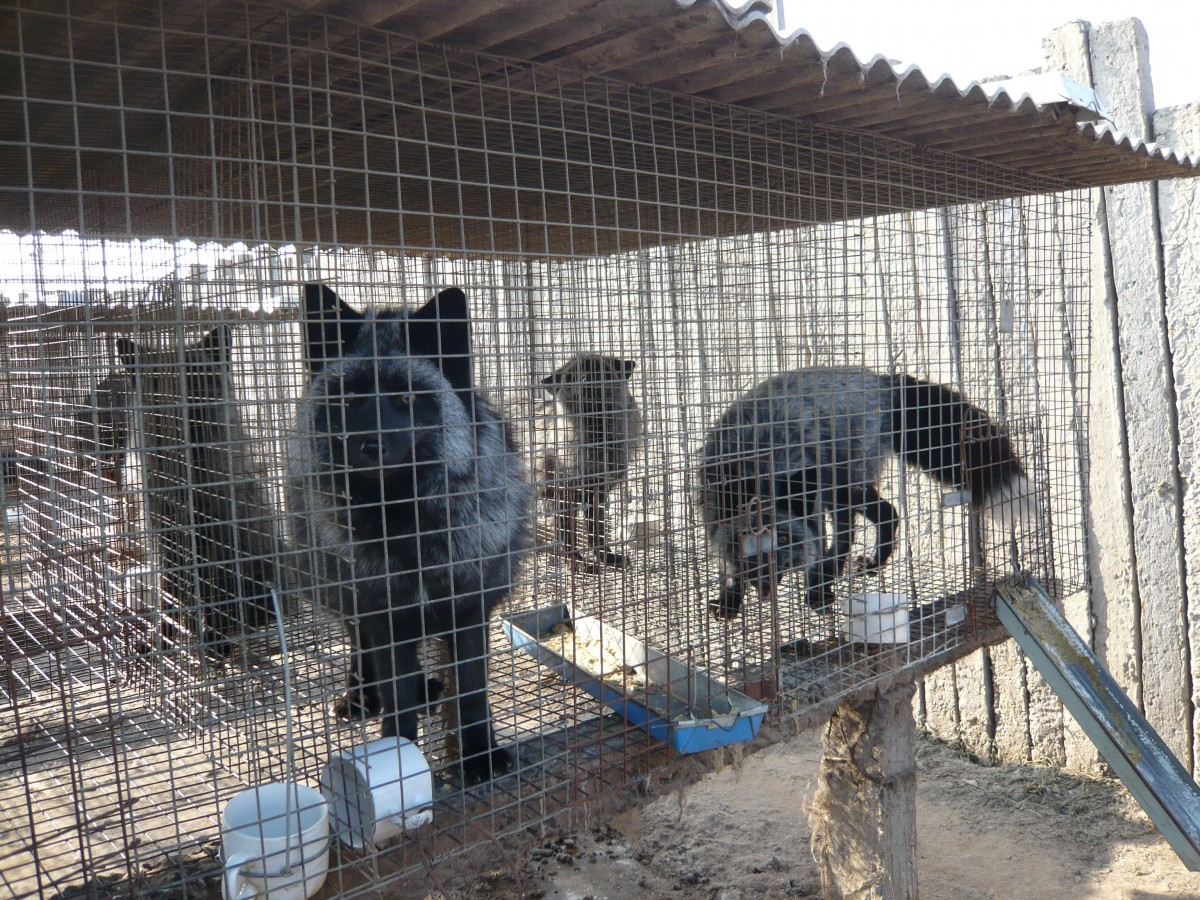 silver foxes in cage
