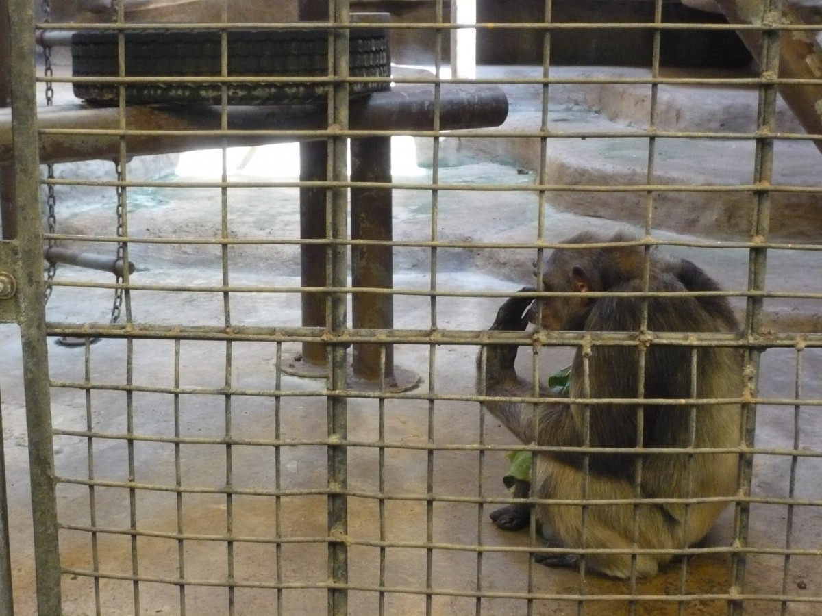 chimpanzee at pata zoo