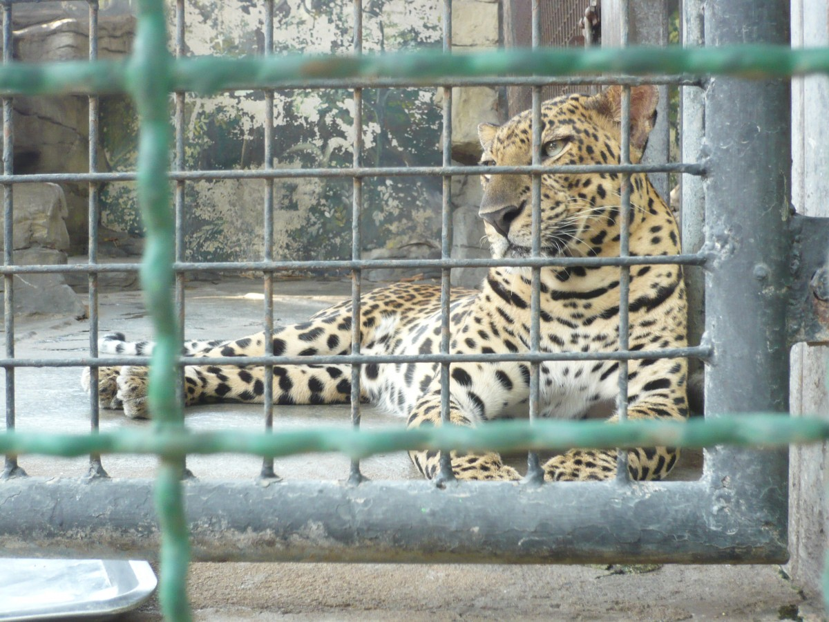 leopard at pata zoo