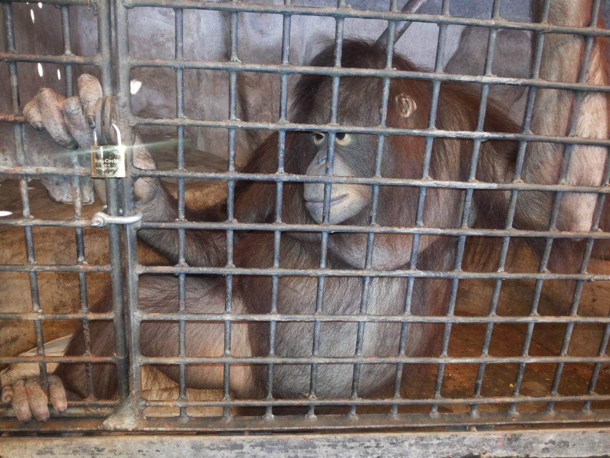 orangutan at pata zoo